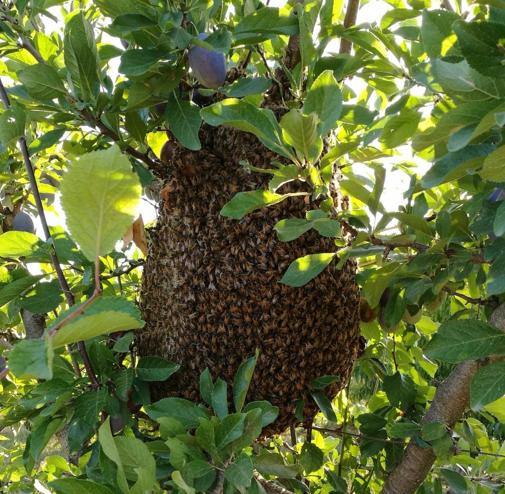 Sciame d'api su albero di susine