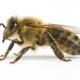 Quanto vive un'ape