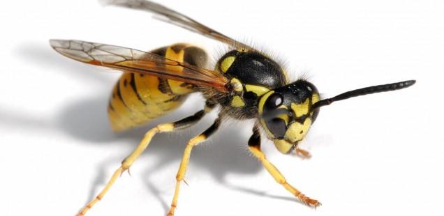 Vespa insetto. Le api muoiono qundo pungono le vespe non muoiono