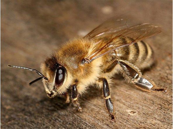 Ape mellifera. Le api muoiono quando pungono