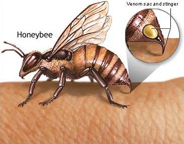 Pungiglione di un'ape. Le api muoiono quando pungono.