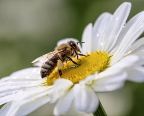 Quanti fiori devono visitare le api per produrre 1 kg di miele?