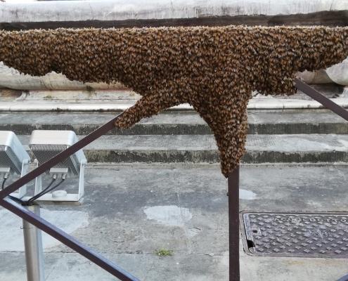 Sciame d'api a Firenze